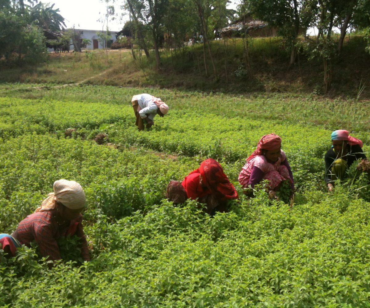 Harvesting Mentha